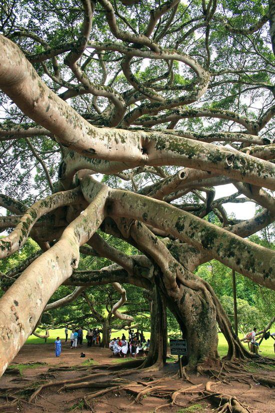 Ficus ( Banyan) in Peradeniya Botanical Garden, Sri Lanka