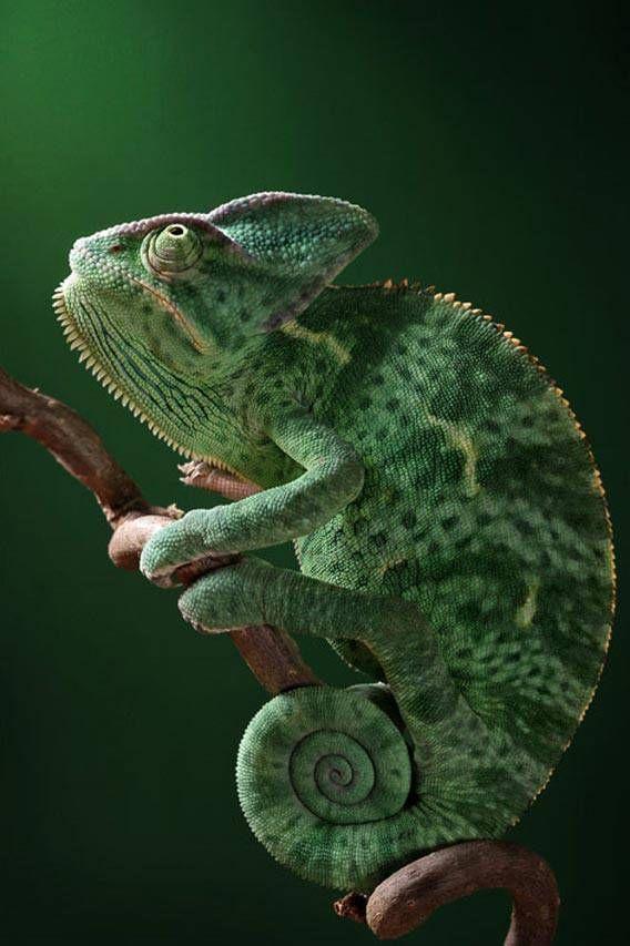 #chameleon