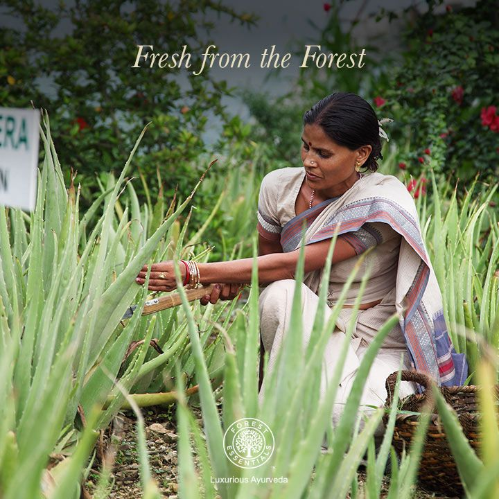 Fresh Aloe Vera from the Himalayas is plucked and it's extracts are used to create pure and organic products with a longer lasting effect. #AboutUs