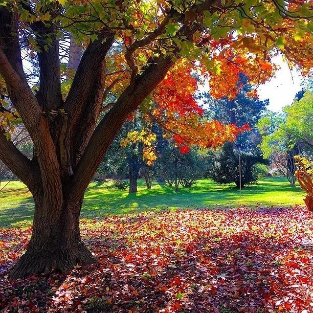 """Canberra wears autumn so beautifully."" Instagrammer @ausseagirl took this image at the Yarralumla Nursery. Where have you seen amazing autumn leaves in Canberra this year? #visitcanberra #onegoodthingafteranother"