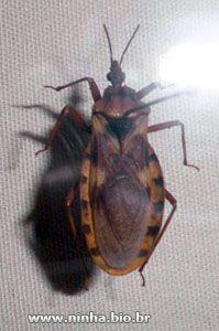 barbeiro - inseto hematófago