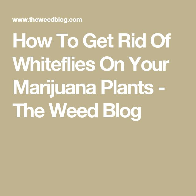 How To Get Rid Of Whiteflies On Your Marijuana Plants - The Weed Blog