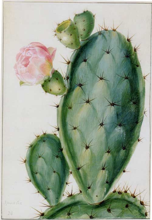 """Drawings of Flowering Plants. For the Marquis (sic) of Bute"" by Georg Dionys Ehret (1708-1770) includes this watercolor on vellum, which shows the Opuntia, or prickly pear."