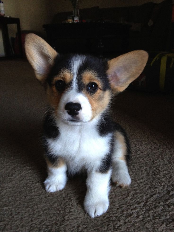 Kaia the corgi #corgi #tricorgi #puppy