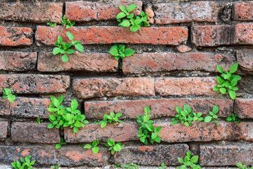 Weeds on Ancient brick wall in temple