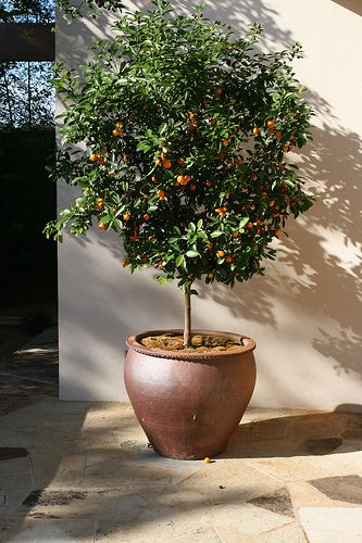 Beautiful Potted Citrus Tree By Gardening In A Minute