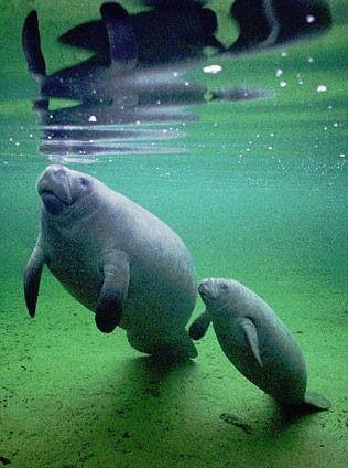 840 best Manatees images on Pinterest | Manatees, Wildlife ...