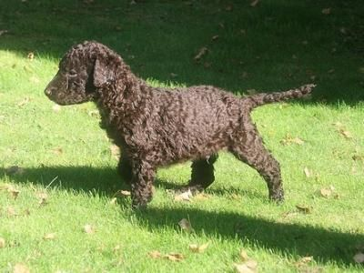 13 best curly coated retriever images on pinterest