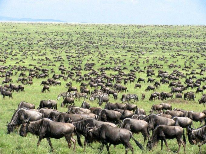 """「セレンゲティ国立公園(Serengeti National Park)」は、""""果てしなく広がる平原""""を意味する場所。動物たちの大移動は、地球のエネルギーを感じます。"""