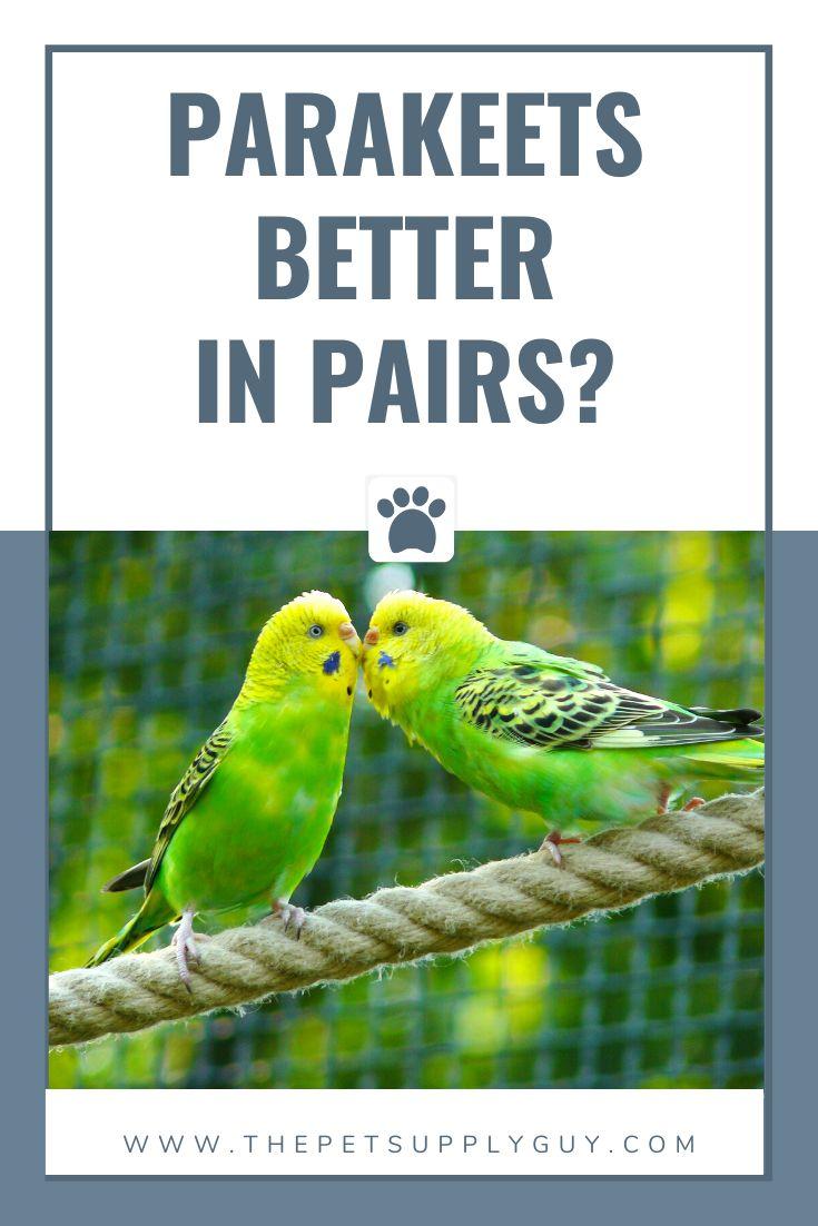 Do parakeets do better in pairs parakeet parakeet care