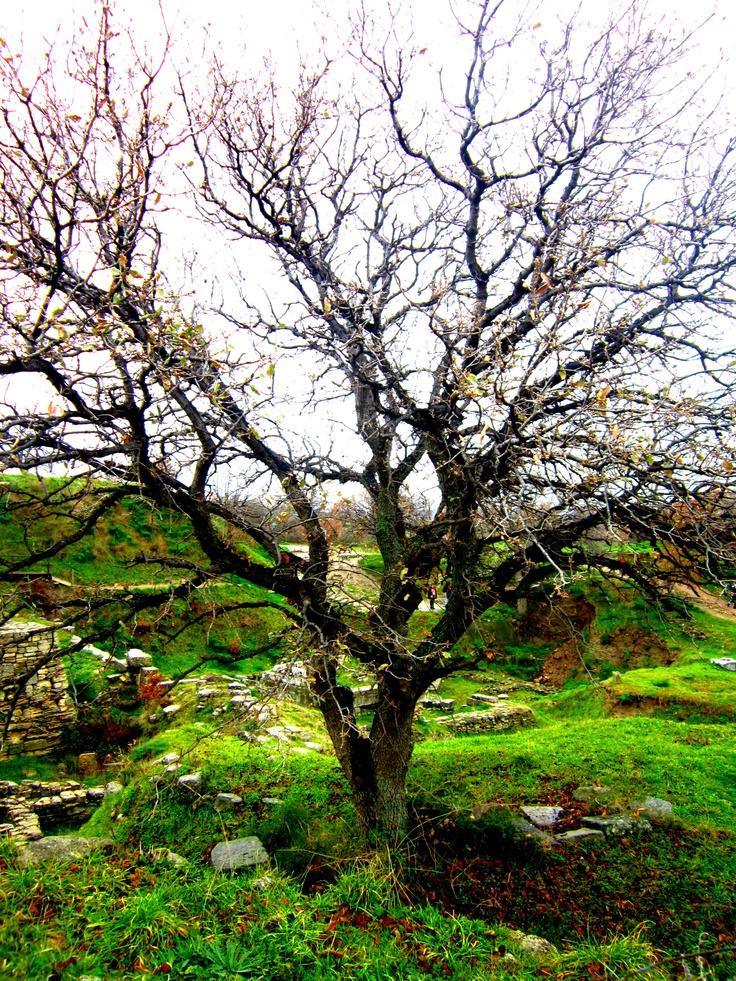 Beautiful tree in the City of Troy - Canakkale, Turkey