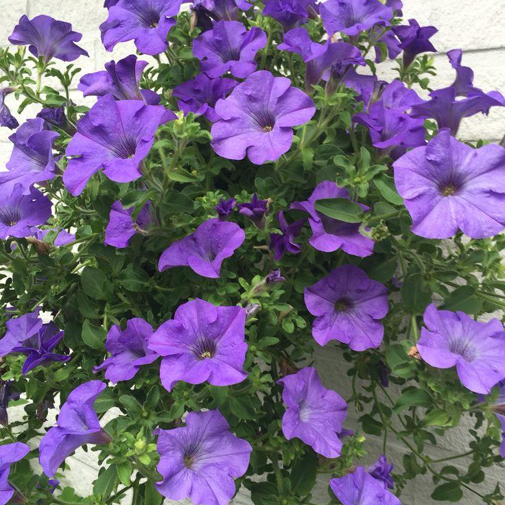 Violet  colour