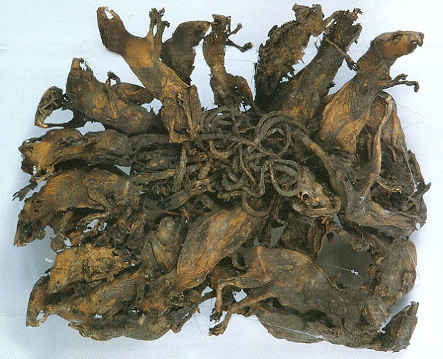 Rat kings happen when a number of rats become intertwined at their tails, which become stuck together with blood, dirt, and excrement. This one consists of 32 rats, the biggest rat king found.