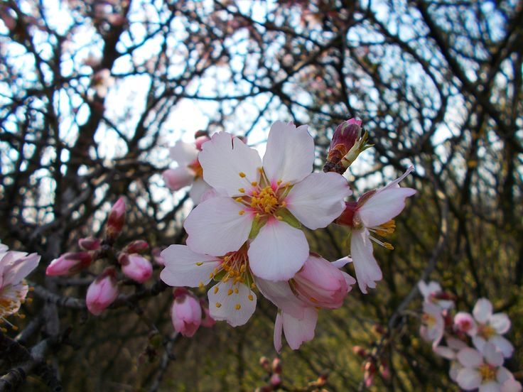 almond blooming :)