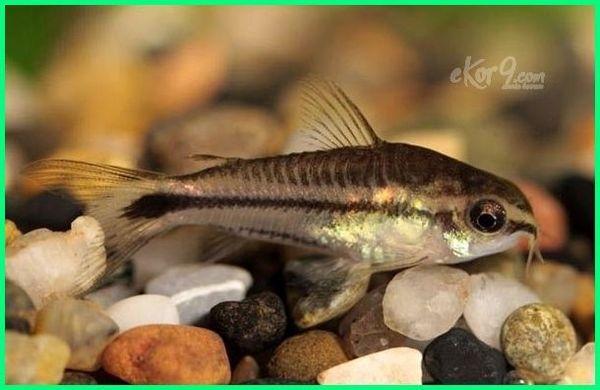 10 Jenis Ikan Corydoras Paling Populer Dan Termahal Dunia Fauna Hewan Binatang Tumbuhan Binatang Ikan Hewan