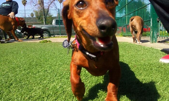 Nice day at the dog park with my mini dacshund.