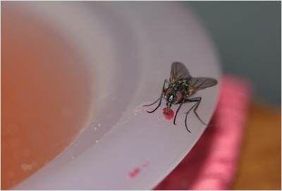 Hausmittel gegen Fruchtfliegen