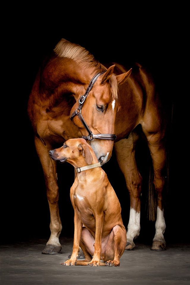 Two chestnut beauties—a horse and a Rhodesian Ridgeback. (Studio Bellavie) both…