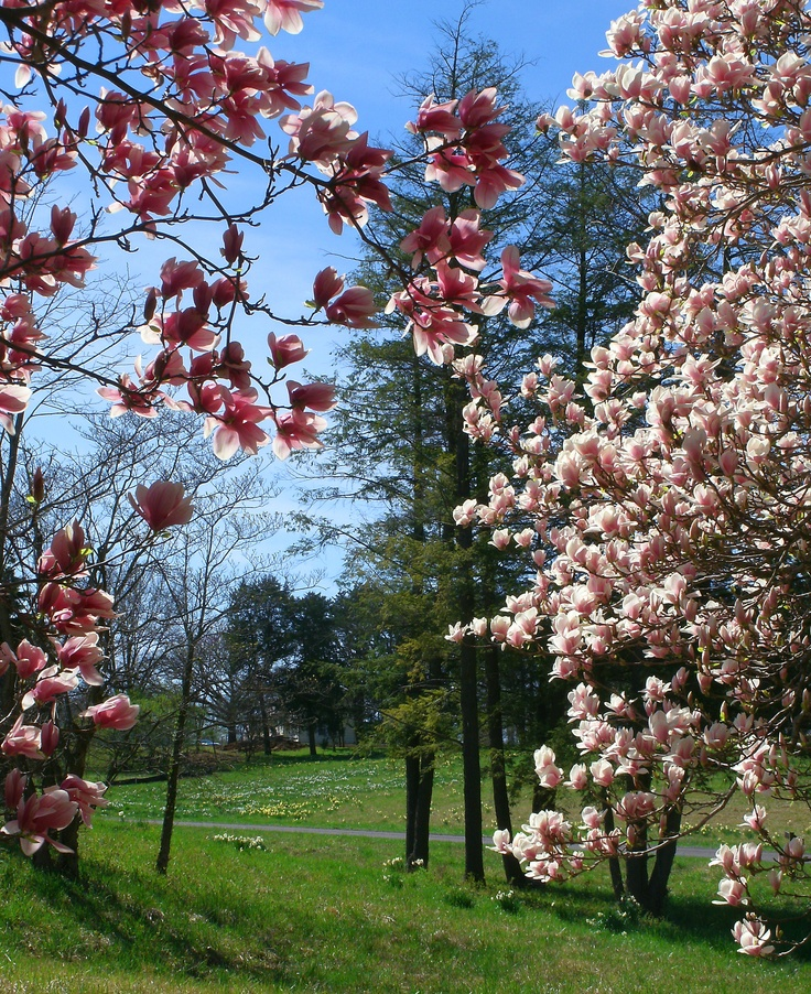 Spring Blooms at Shaw Nature Reserve, Gray Summit, MissouriAmerican Midwest, Shaw Nature, Gray Summit, Nature Reservation, Spring Bloom, Gorgeous Photography, Cup Of Coffee, Trees Blossoms, Cups Of Coffee