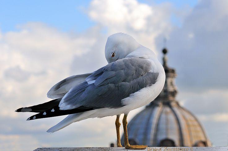 Gabbiano a Roma...