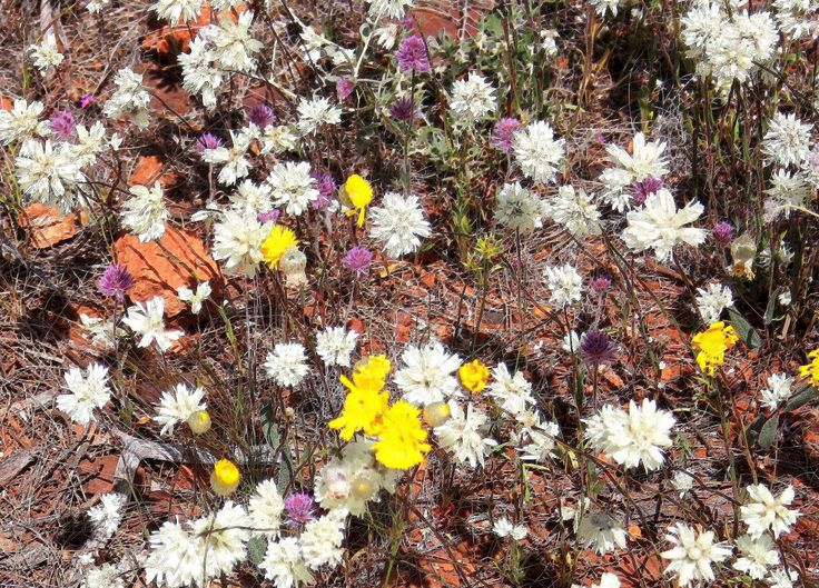 Everlasting daisies at Payne's Find in The Murchison District, which I've pixelated using Paint Shop Pro