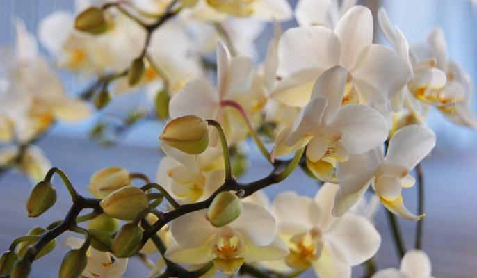 Vit orkidé med små blommor.