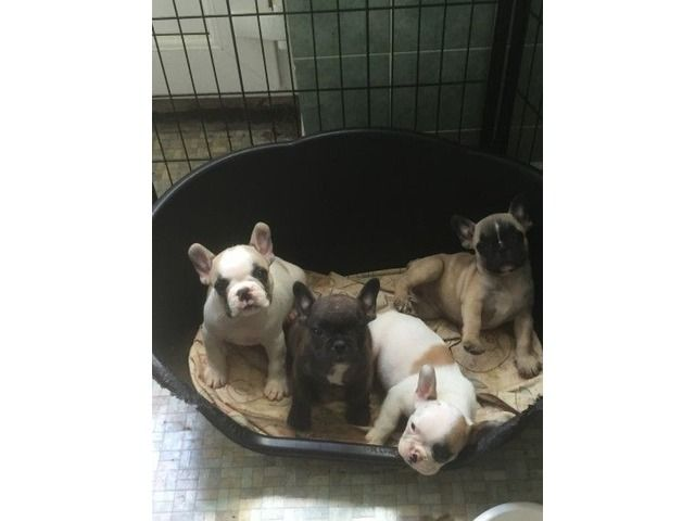 Stunning Kc Blue French Bulldogs Ready Now