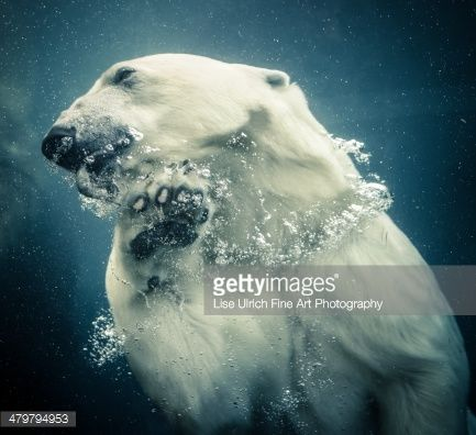 A female polar bear in Copenhagen Zoo has caught a fish and is swimming to the surface to enjoy the meal.#Zoo