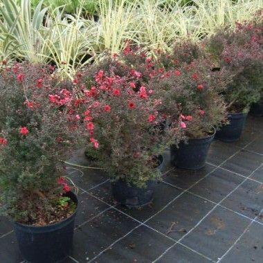 Les 25 meilleures id es de la cat gorie plantes for Plantes ornement exterieur