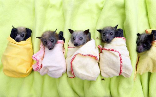 Cute! 5 of the 130 baby bats rescued from the Queensland floods being cared for at a clinic in Brisbane.
