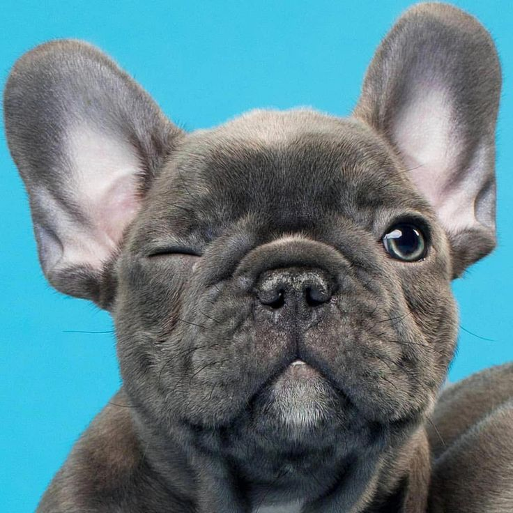 """Wink, Wink"", French Bulldog Puppy 366, 9 comments-Hom …   – tiere/animals"