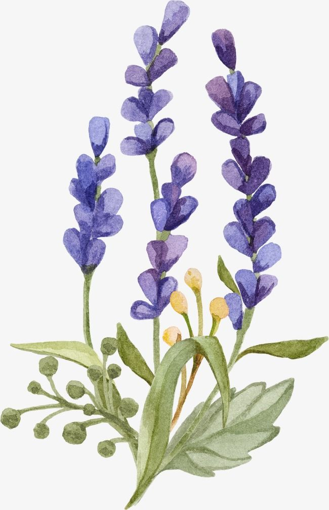Lavender Watercolor Small Fresh Lavender Png Transparent Clipart Image And Psd File For Free Download