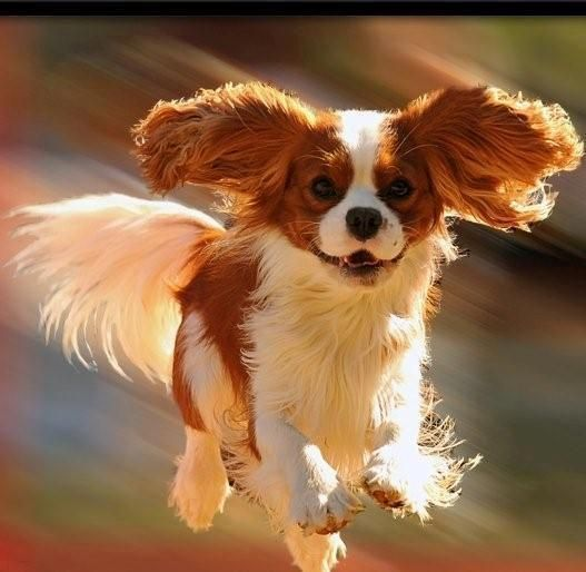 Absolutely breathtaking - Cavalier King Charles Spaniel! See how they smile! Da day data peachy pup to the rescue!: