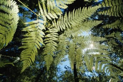 The Australian tree fern, also known by the botanical names Sphaeropteris cooperi and Cyathea cooperi, is a giant tropical fern that can reach a height of up to 30 feet. Known as a hardy plant, the ...