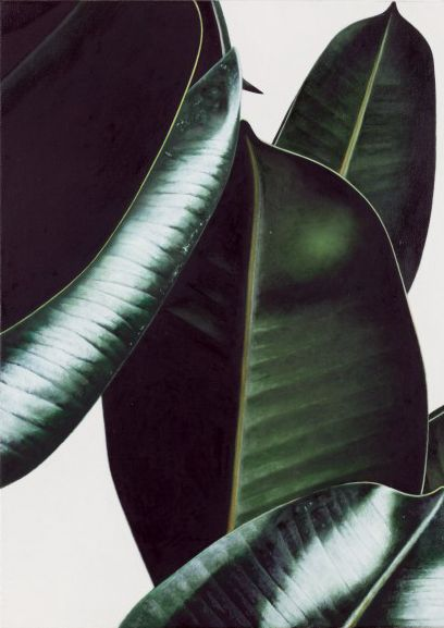 Rubber plant leaves