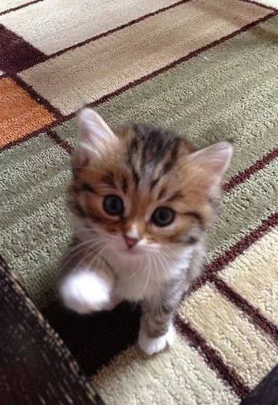 """Cute Kitten in Her New Home: """"Please take my paw; I fell in love with YOUR kindness; all the other 'Humans' were afflicted with blindness."""" (Short Poem Written By: Lynn Chateau )"""