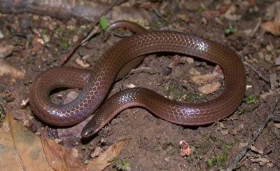 WORM SNAKE - these snakes are small enough and thin enough, they can be mistaken for a large worm.  Not poisonous, so don't kill them!