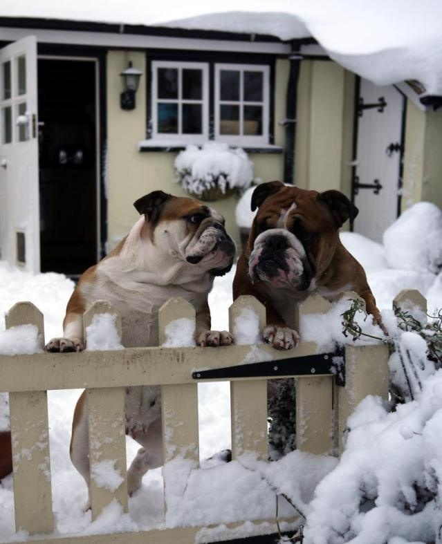 305 Best Images About Awesome Bulldogs On Pinterest