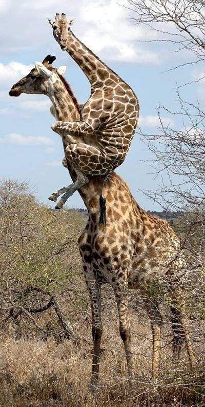 8 best giraffeu0027s images on Pinterest Funny pics, Funniest - griffe für küche