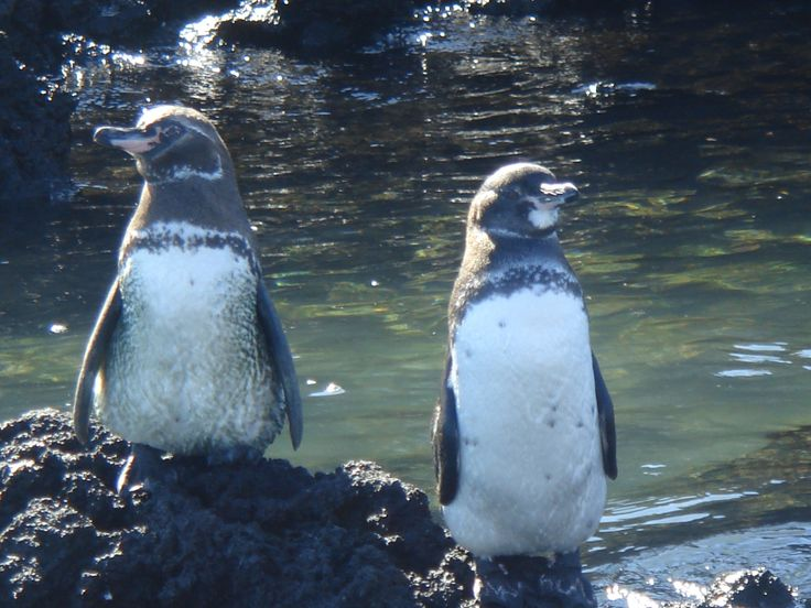 A close encounter with tropical penguins, endemic species in the Galapagos  #visitsamerica  Don´t just dream it, make it happen. Plan your South America trip with a local!