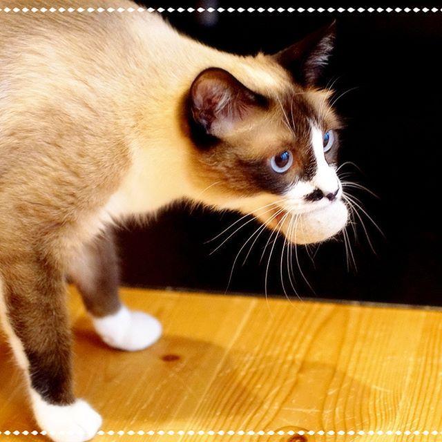 ハニ毛ボールが大きいのでいつもより3割増しで興奮しております。  #pet#cats#neko#ilovecat#にゃんこ#ネコラ部#モフモフ#保護猫#愛猫#love#lovely#cute#funny#meow#instacat#変顔#顔芸#kawaii#なんちゃってシャム#sippo#猫写真#毛ボール#