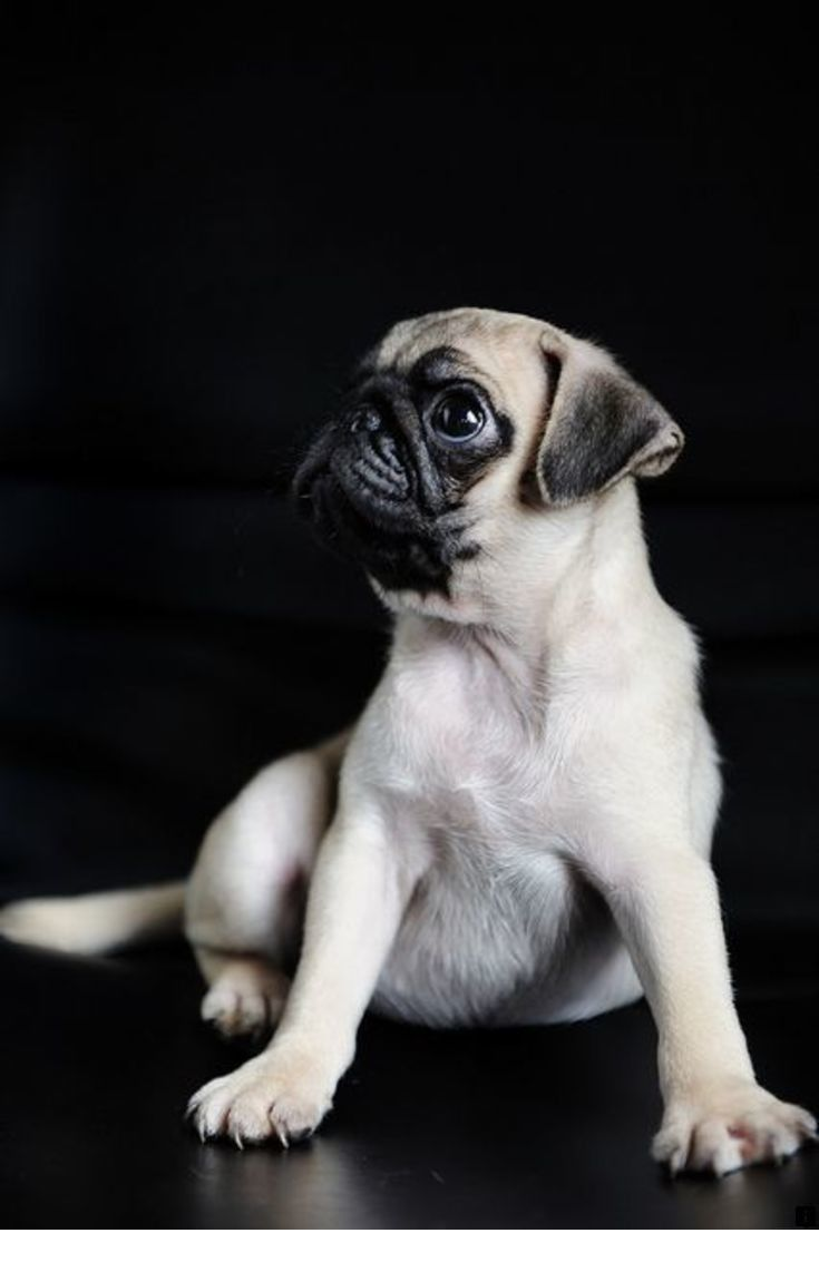 Find More Information On Pugs For Adoption Just Click On The Link