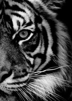 Ansichtkaart gefotografeerde tijger in zwart-wit. Fotografie dieren kaart monochrme decoratie foto sfeerbeeld