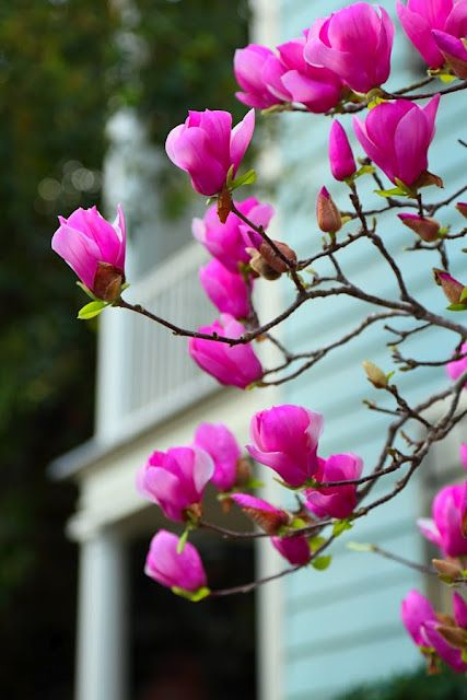 Saucer Magnolia, Charleston, SC...♥♥  By Doug Hickock.. love mine right outside the porch..