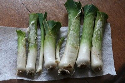 """Harvesting Leek Plants: Tips On When And How To Harvest Leeks - Leeks are members of the onion family, but instead of forming a bulb, they form a long shank. The French sometimes refer to this nutritious vegetable as """"the poor man's asparagus."""" Leeks are rich in vitamins C, A, and folate, and they also contain kaempferol, a phytochemical believed to help prevent cancer. Let's learn more about picking leek plants in the garden to take advantage of all they have to offer."""