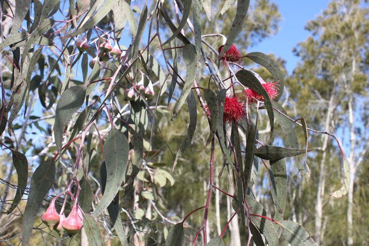 eucalyptus caesia silver princess - Recherche Google