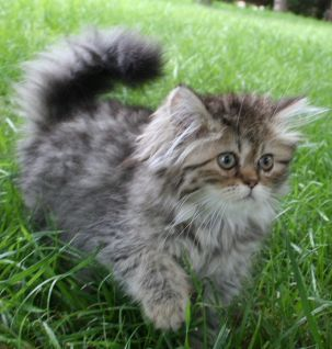 Persian Breeder Golden Tabby