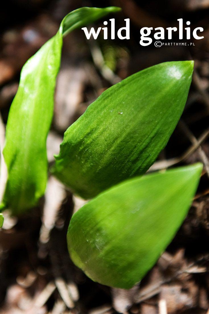 czosnek niedźwiedzi / #wild garlic / wiosna w ogrodzie