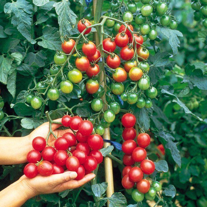 Sweet Million - Rouge | Jardin de légumes, Quand planter les tomates, Planter tomates