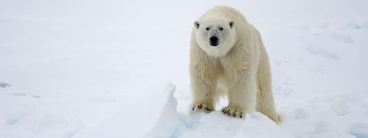 THREATENED! : Polar Bear : Because of ongoing and potential loss of their sea ice habitat resulting from climate change, polar bears were listed as a threatened species in the US under the Endangered Species Act in May 2008. The survival and the protection of the polar bear habitat are urgent issues.